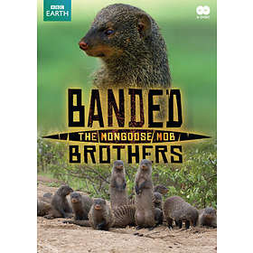 Banded Brothers - The Mongoose Mob (BBC Earth)